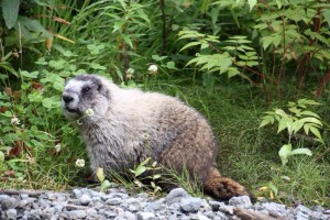 09 marmot