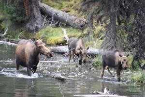15 moose