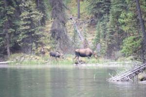 15 Moose met kleintjes